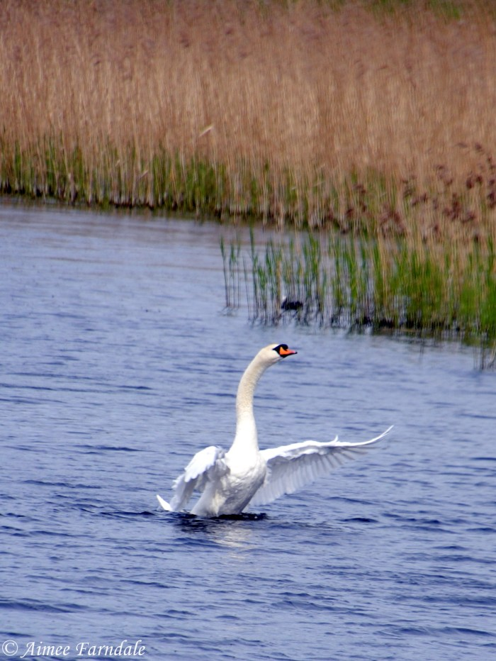 A mute swan about to take flight from the water   Stavely, UK