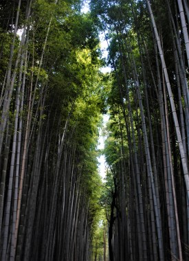 The towering stalks on Sagono Bamboo Forest | Kyoto, Japan