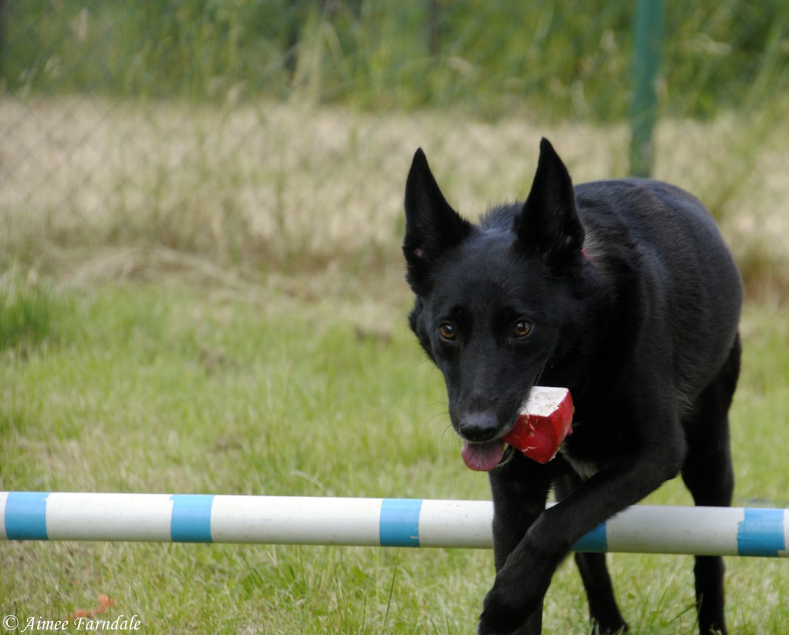 Kia, a shy rescue dog gets to grips with a donated agility course. She can nearly always be found with a toy in her mouth, as this provides her with comfort and support | Yorkshire, UK