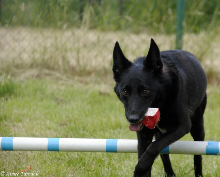 Kia, a shy rescue dog gets to grips with a donated agility course. She can nearly always be found with a toy in her mouth, as this provides her with comfort and support   Yorkshire, UK