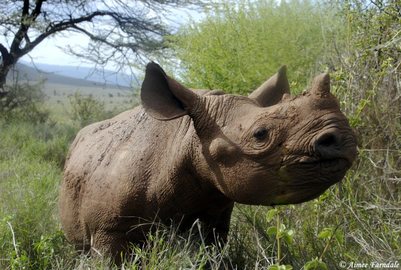 Orphaned black rhino, Hope, stopping for a snack. Hope, along with 2 other young rhinos, is cared for by rangers 24/7 after her mother was killed by poachers | Kenya Edit: Sadly, since this photo was taken in 2015, Hope has passed away.