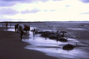 Beached False Killer Whales in Flinders Bay, 1986 - all whales were returned safely back into the sea