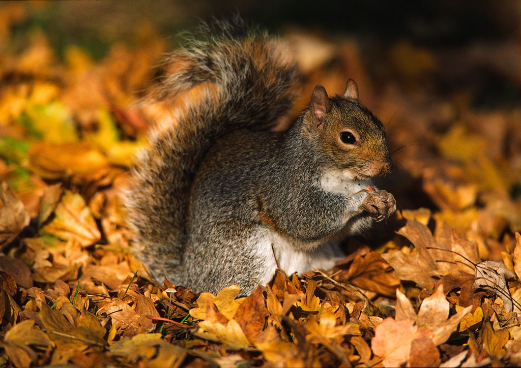Fall In Ireland Wallpaper Grey Squirrel Irish Wildlife Amp Nature Photography