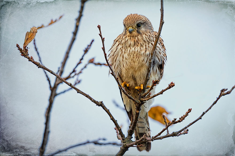 The Kestral