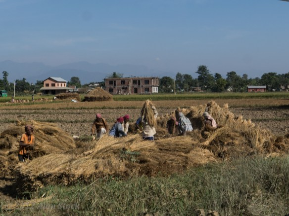 Rice team workers on the Terai plains