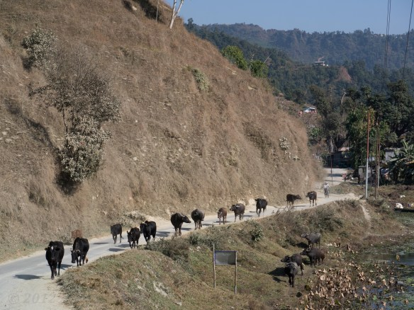 We had to steer around this narky group of ox and buffalo being herded along the road