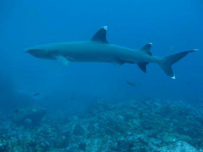 Galapagos White Tip Reef Shark