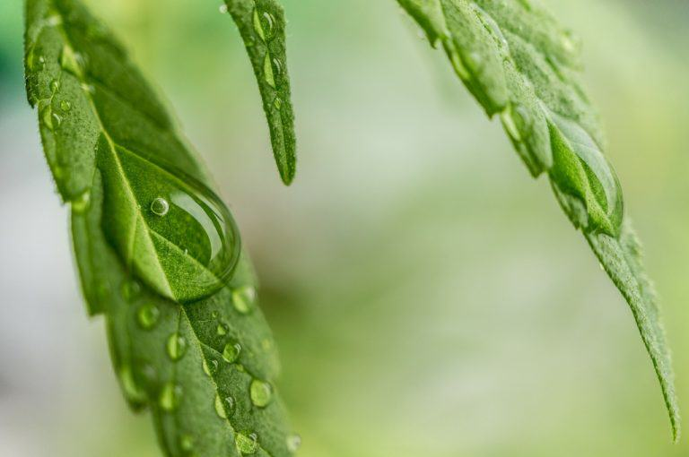Vapor pressure deficit (VPD) in cannabis cultivation - Alchimia blog