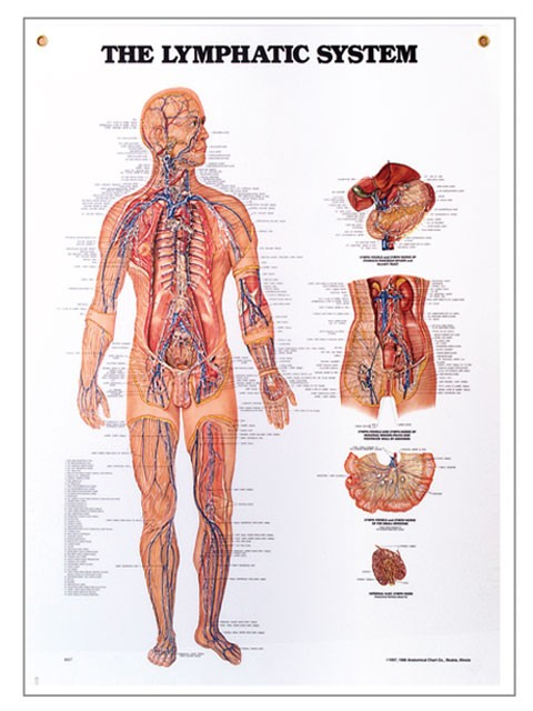 Lymphatic System Chart 20\