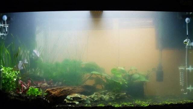 Milky white cloudy aquarium water often indicates a bacterial bloom