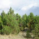 """Fondo de hoy: """"Pinus pinaster"""""""