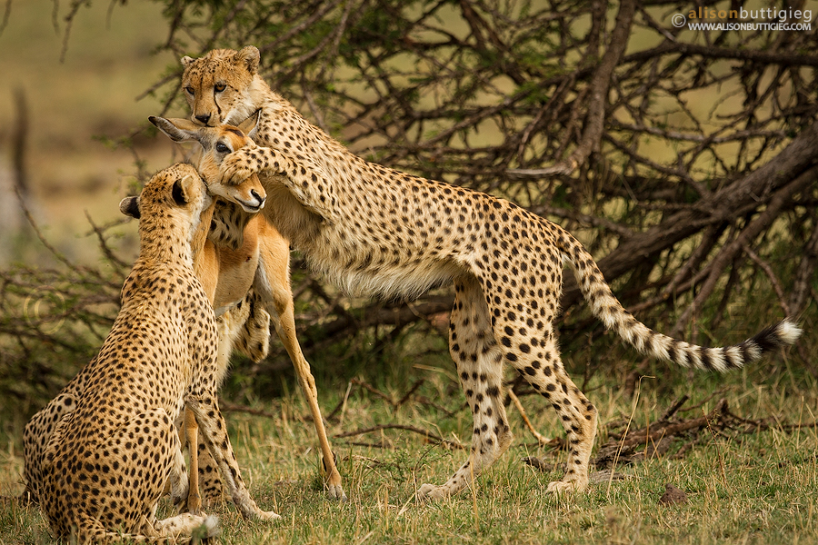 Death Wallpapers With Quotes In Hindi The Real Story Behind The Viral Photo Of Cheetahs Preying
