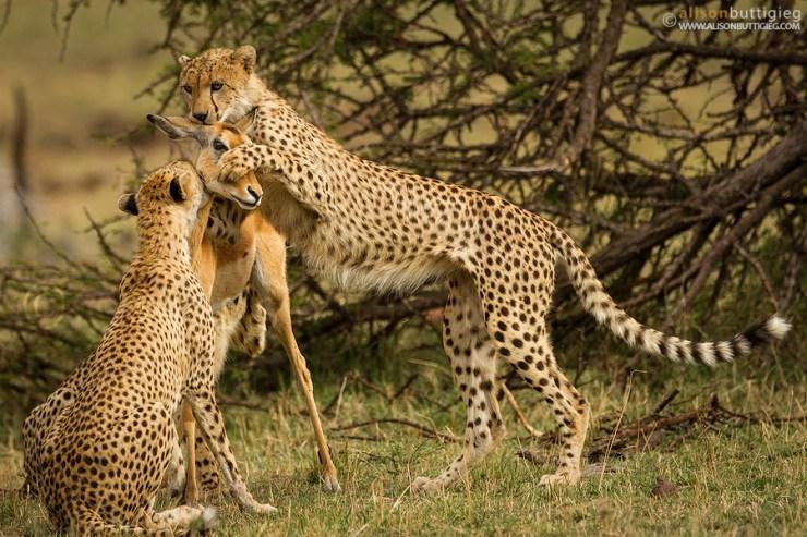 cheetah kills deer award winning photo