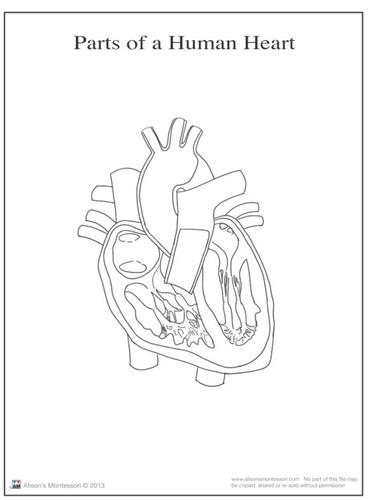 Montessori Materials Parts of a Human Heart 6-9