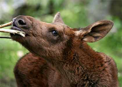 All About Baby Moose