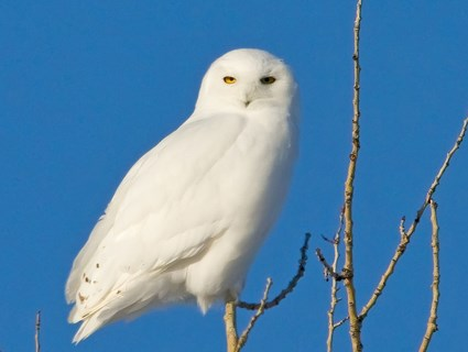 Cute Baby Flying Kiss Wallpaper Snowy Owl Identification All About Birds Cornell Lab
