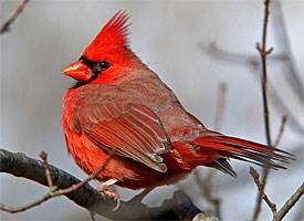 Fall Bird Feeder Wallpaper Northern Cardinal Identification All About Birds