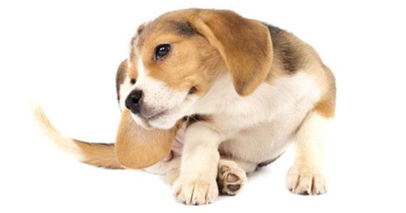 DOG-FLEA-TICK-CONTROL-INTRO