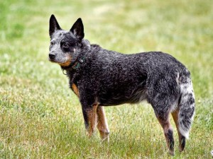 Australian-Cattle-Dog popular farm dogs