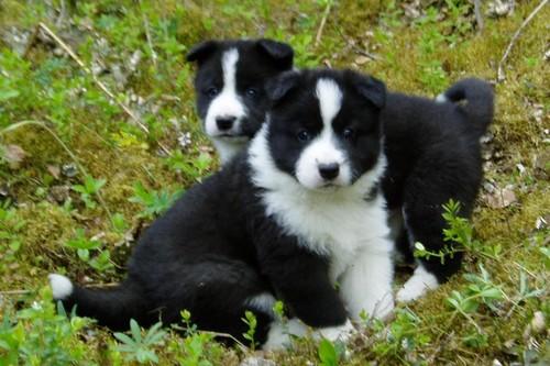 Karelian-Bear-Dog
