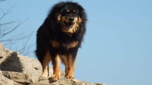 The Tibetan mastiff popular farm dogs