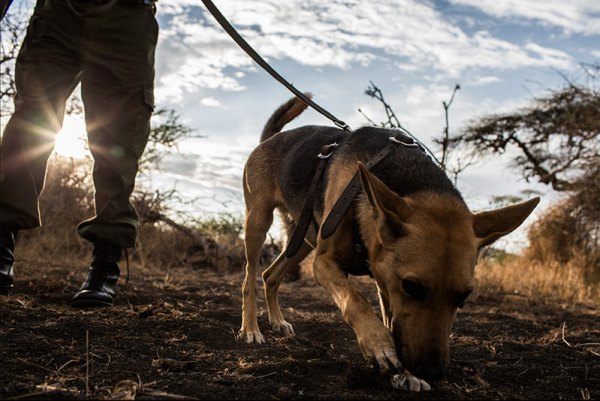 Tracking dogs training