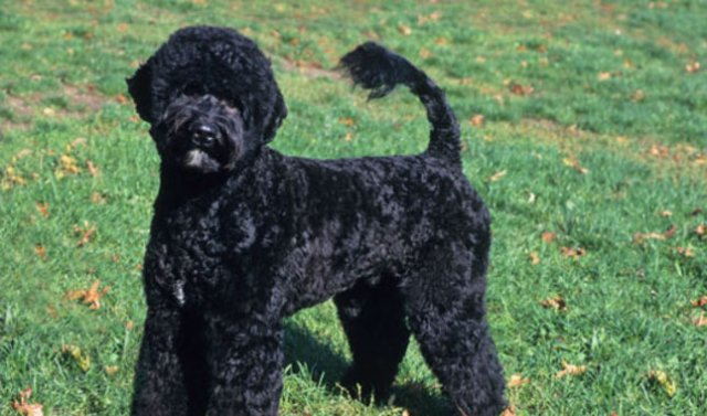 Curly Haired Dogs Allaboutdogs Net