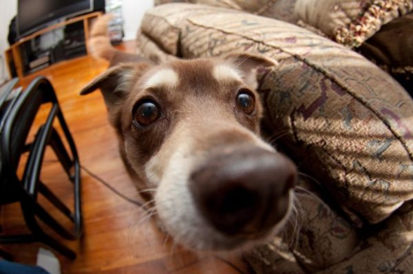 Can dogs detect diseases