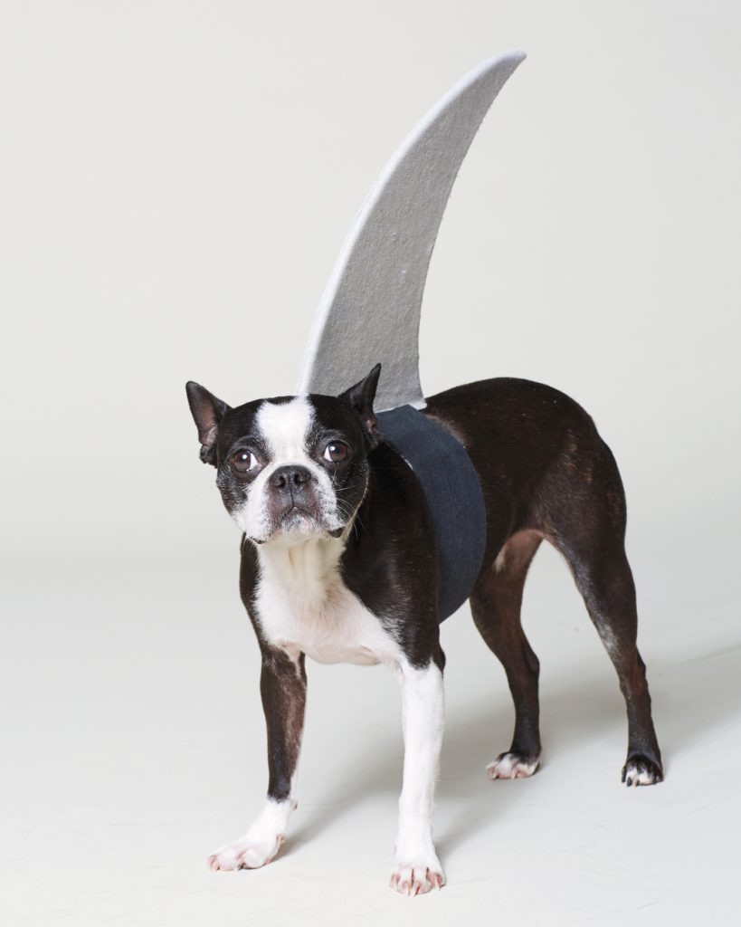DIY Shark Fin Costume For Your Pup