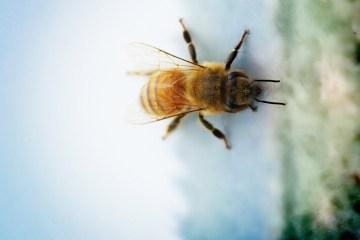 honeybee-megan-molteni-180
