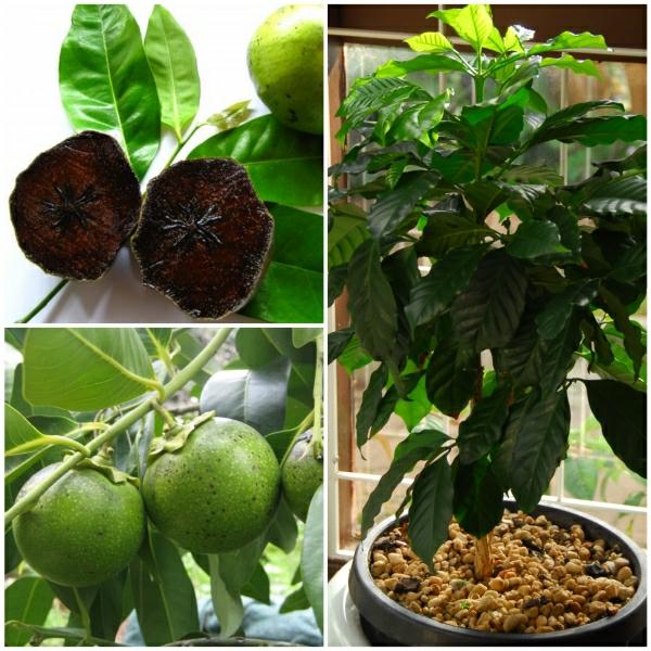 ... Exotische Pflanzen   Der Schokoladen Apfelbaum Fürs Haus Und Garten   Exotische  Pflanzen Zuchten ...