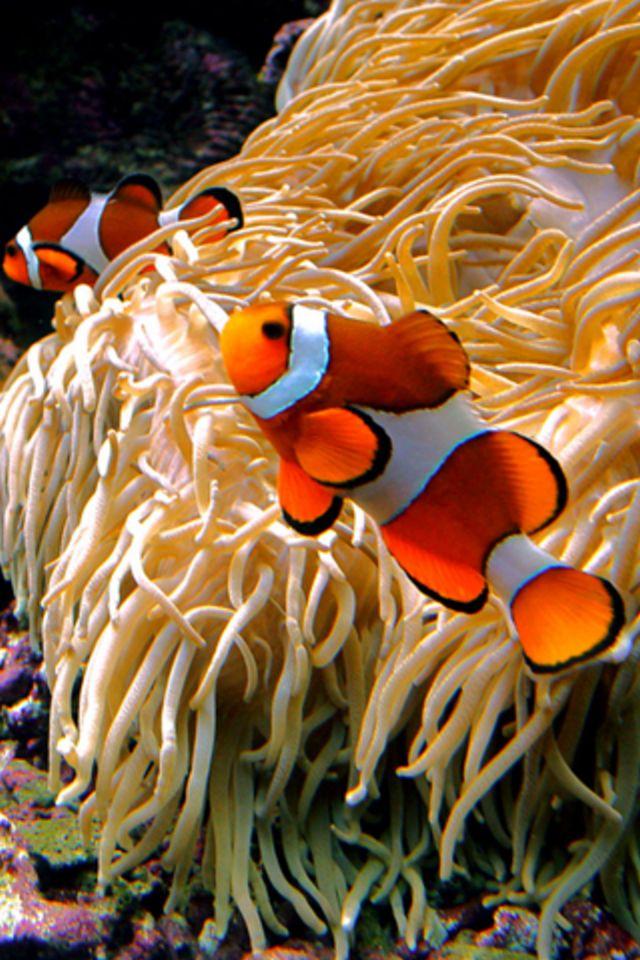 Clown Fish Wallpaper Iphone 6 Plus Clown Fish Iphone Wallpaper Hd