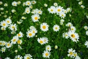 meadows-daisies-474255_1920