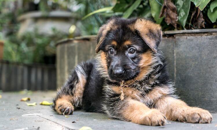 Miniature German Shepherd Do These Pocket Sized Dogs Exist? \u2013 All