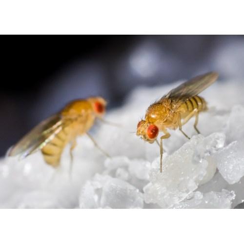 Medium Crop Of Small Flies In House