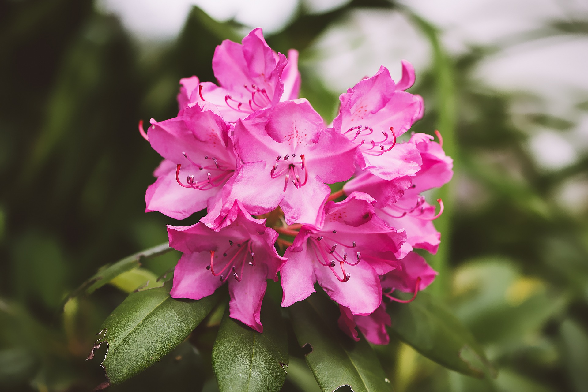Pretty Wallpapers For Fall Rhododendron Care And Growing Tips Old Farmer S Almanac