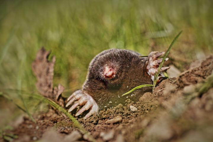 Moles: How To Identify And Get Rid Of Moles In The Garden Or Yard