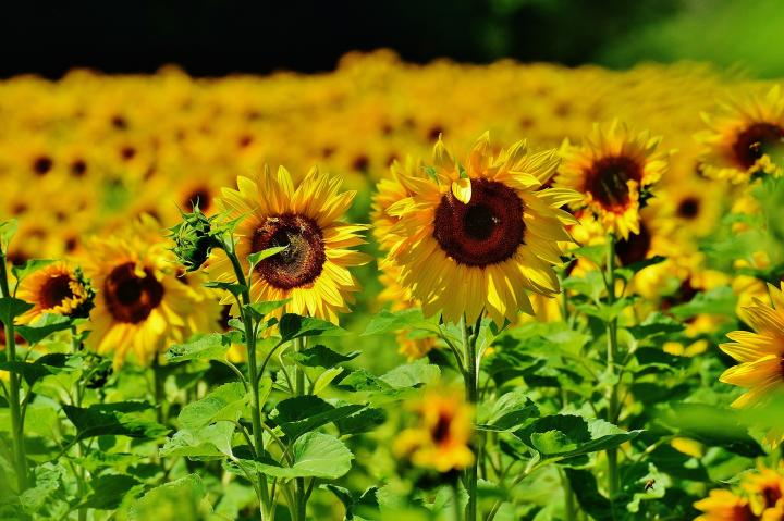 Sunflowers How to Plant, Grow, and Care for Sunflower Plants The