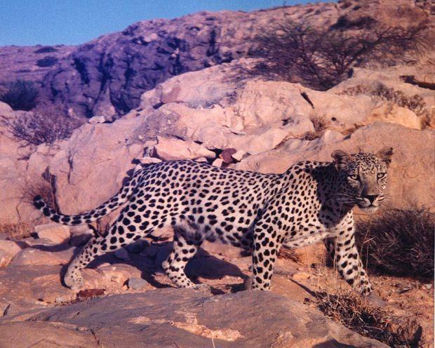 Panthera pardus nimr