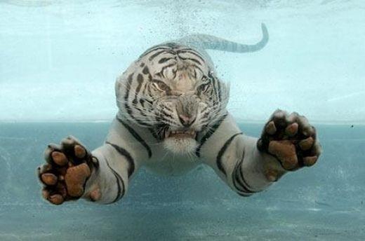 نمر تحت الماء