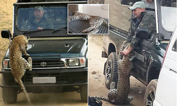 *** EXCLUSIVE - VIDEO AVAILABLE *** KRUGER NATIONAL PARK, SOUTH AFRICA - JULY 02: A leopard attacks a field guide Curtis Plumb in an open safari vehicle at Kruger National Park on July 2, 2015 in South Africa. A BRITISH safari guide has been hospitalised after a leopard attacked him in the open-top jeep he was travelling in. Curtis Plumb, 38, was bitten and clawed in the arm after the predator launched itself at his vehicle in Kruger National Park, South Africa. The mauling just after 1pm on Thursday was caught on camera by tourist Grant Ford and his 13-year-old son, who watched the horrifying incident unfold before their eyes. Eyewitness accounts say Mr Plumb stopped his vehicle full of tourists to watch the big cat when it suddenly attacked. In the chaos that followed, the safari vehicle and another car in the convoy both ran over the leopard with their wheels. In a statement William Mambasa, general manager of Kruger National Park, thanked the tourist from the other vehicle for saving the guide and touristsي lives. Mr Plumb, who has been working as a guide for four years after moving to South Africa from the United Kingdom, was taken to hospital for immediate surgery. He is said to be in a stable condition. The injured leopard was put down after the incident, which comes just a month after a lion mauled 22-year-old American tourist Katherine Chappell to death in a predator park in South Africa. PHOTOGRAPH BY Greatstock / Barcroft Media UK Office, London. T +44 845 370 2233 W www.barcroftmedia.com USA Office, New York City. T +1 212 796 2458 W www.barcroftusa.com Indian Office, Delhi. T +91 11 4053 2429 W www.barcroftindia.com