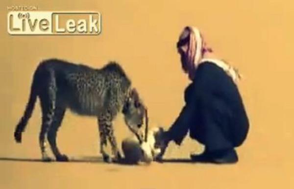 سعودي يستخدم فهدًا في صيد