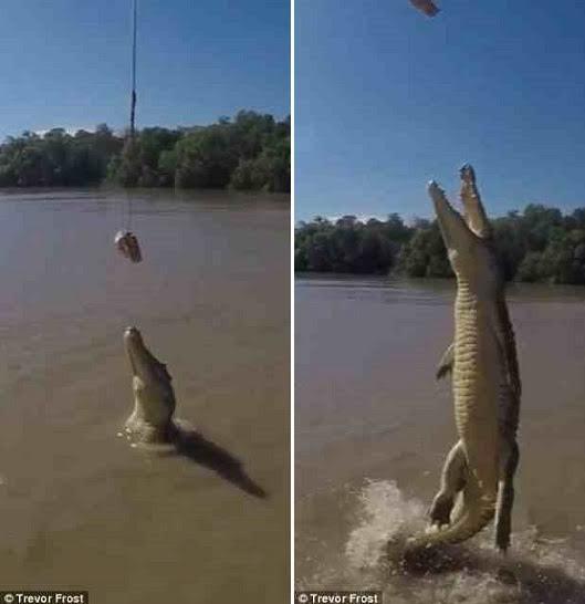 تمساح يقف على ذيله فوق الماء