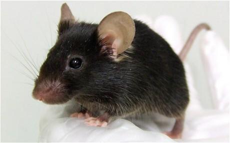 فأر - فئران