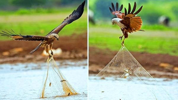 صور للطائر الذي وصفه الرسول بفاسق وهو يسرق سمك الصياد