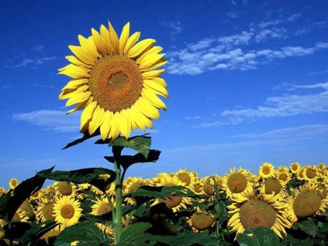 عباد الشمس - زهرة الشمس