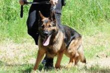 لأول مرة.. الكلاب في بريطانيا تُمنح معاشًا بعد التقاعد .. (2400 )دولار لكل كلب