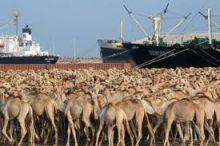 تصدير «190» ألف رأس من الإبل إلى مصر