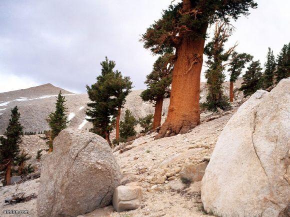صورة لشجرة الصنوبر