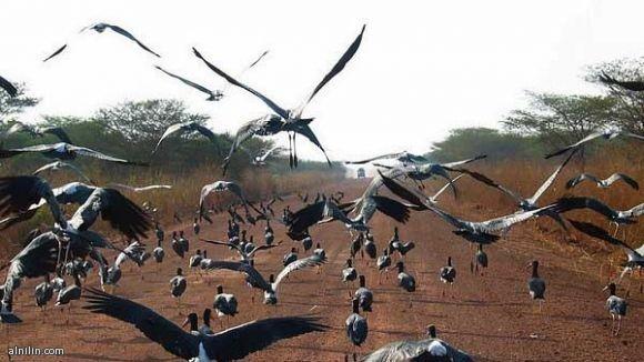 سرب من الطيور -جنوب السودان